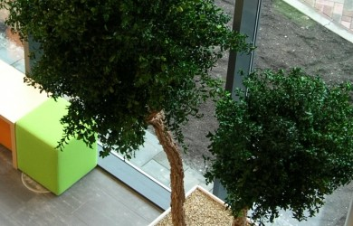 Two indoor Pittosporum trees seen from overhead