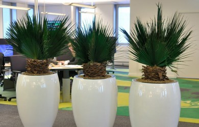 3 washingtonia plants in office
